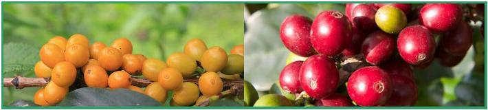 Желтые и красные ягоды сорта Катурра