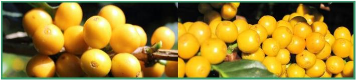 Желтые ягоды сорта Катуаи